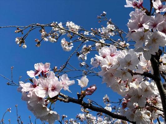 <s20-141>しんたろうさん:4月5日(日)/愛知県 山崎川沿い