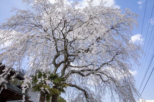 <s20-169>Y.Sawakiさん:春満開/4月4日(土)/岐阜県串原