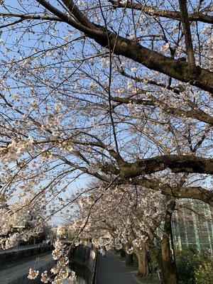 〈s20-028〉Katsuさん:神田川の桜/3月22日(日)/杉並区高井戸 神田川