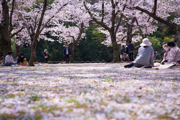 〈s20-106〉ぽせいどんさん:桜の絨毯の上で/2019年4月8日(月)/後楽園