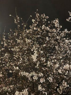 〈s20-050〉トッキーさん:夜桜/3月27日(金)/足立区大谷田