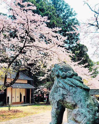 <s20-156>amyko_oさん:狛犬さん越しの桜。/4月15日(水)/佐渡