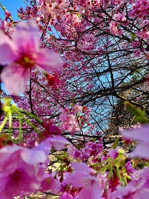〈s20-007〉中嶋克彦さん:桜いろいろ/3月19日(木)/新宿御苑