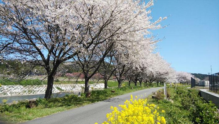 <s20-151>sado princeさん:桜並木/4月16日(木)/新潟県佐渡市