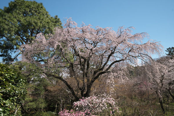 〈s20-057〉nanumotoさん:枝垂れ桜/3月24日(火)/松戸市本土寺