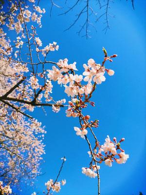 <s20-170>奈良飛鳥さん:桜と青空/3月25日(水)/港区青山霊園