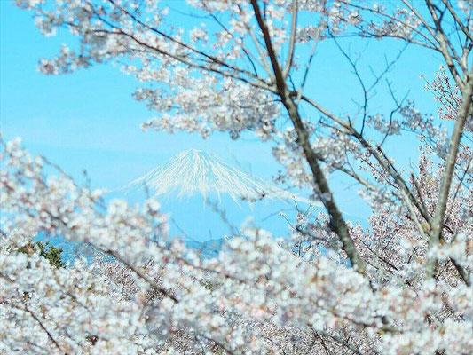 <s20-165>akane_yuhiさん:桜と富士/4月10日(金)/日本平