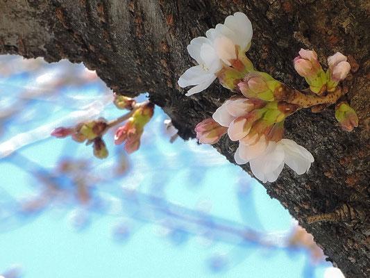 〈s20-003〉b'さん:やっと春が来た.1/3月19日(木)/埼玉県新座市