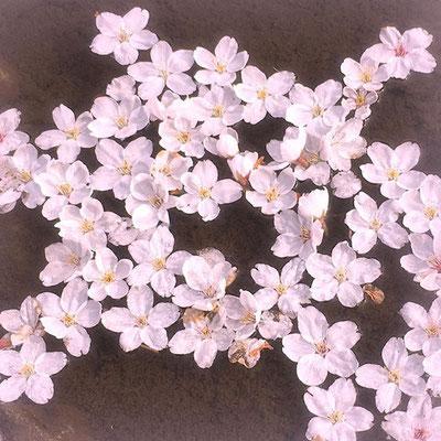 <s20-146>wildflowers.megamikoさん:みんな集まれ〜/4月15日(水)/長野県諏訪市高島