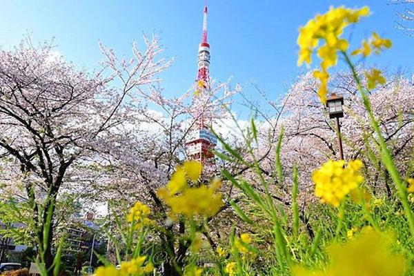 〈s20-114〉satogawa.9carpさん:春満載/3月/東京都港区