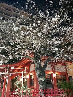 〈s20-031〉たけさん:西浅草八幡神社は、ほぼ満開?/3月25日(水)/西浅草八幡神社
