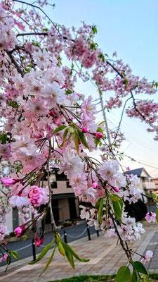 〈s20-117〉pipiさん:4月7日(火)/埼玉県新座市