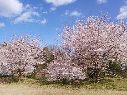 〈s20-054〉千囃連さん:児童を見守る公園の桜/3月24日(火)/成田市内児童公園/名所でも無い場所でも素敵な桜を見る事が出来ますよ