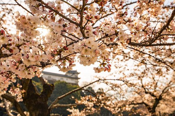 〈s20-100〉ぽせいどんさん:桜の向こうに/2019年4月5日(金)/姫路城