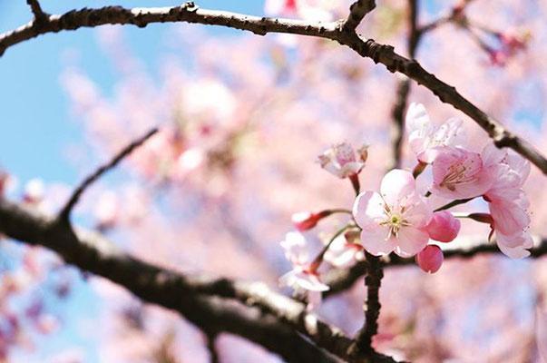 〈s20-038〉tabi2018nohohonさん:北浅羽桜堤にて。/3月20日(金)/埼玉県坂戸市
