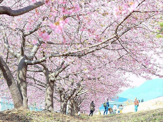 <s20-163>akane_yuhiさん:さくらとお天気/3月8日(日)/河津