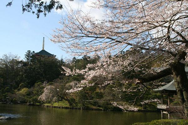 〈s20-041〉千囃連さん:これぞ日本庭園/3月24日(火)/成田山新勝寺/平和の塔と日本庭園には桜ですね