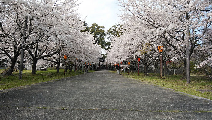 〈s20-148〉sado princeさん:神社の桜/4月17日(金)/新潟県佐渡市/神社の奥まで満開の桜