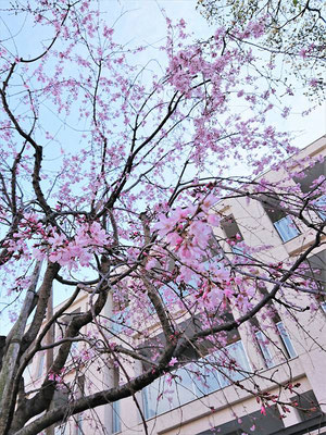 <s20-002>たけさん:今週末はお花見!/3月18日(火)/東京都墨田区