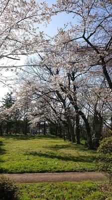 <s20-094>小野加代子さん:いつもより早く満開になりました。/4月3日(金)/福島県福島市青柳神社