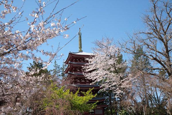 <s20-059>nanumotoさん:5重塔とのコラボ桜/2019年3月24日(火)/松戸市本土寺