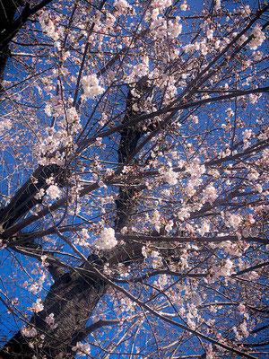 〈s20-008〉JPさん:三連休は桜!/3月20日(金)/埼玉県朝霞市