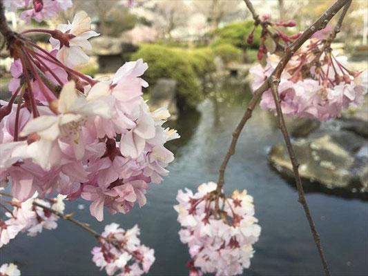 <s20-154>wildflowers.tateshinaさん:池と桜/4月15日(水)/高島城公園