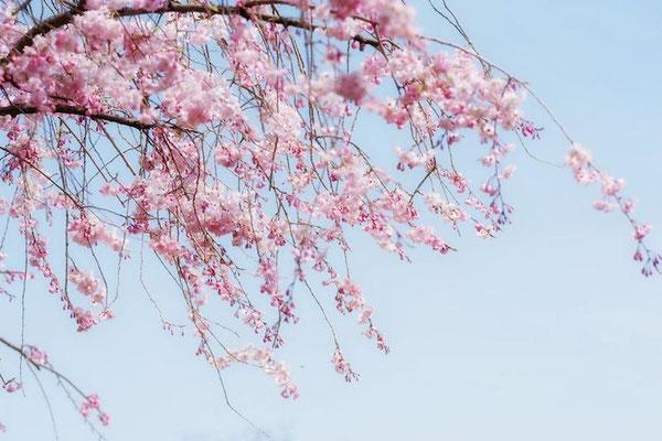 〈s20-112〉coloring4122さん:Sakura Arch./4月6日(月)