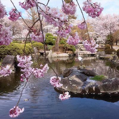 <s20-153>wildflowers.megamikoさん:池と桜/4月15日(水)/長野県諏訪市高島の高島城