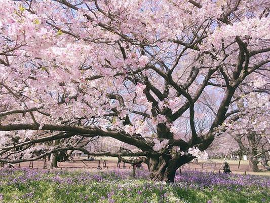 <s20-145>hidamari03さん:エネルギー/3月26日(木)/小金井公園
