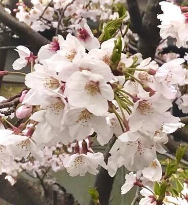 〈s20-118〉寺門 和弘さん:静かなお花見?/4月3日(金)/茨城県鹿嶋市城山公園