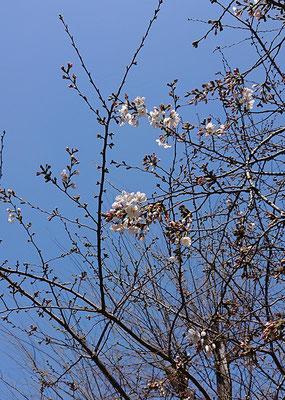 〈s20-005〉アステカさん:咲いてる〜/3月19日(木)/千駄ヶ谷