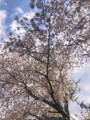 〈s20-127〉tuanさん:来年は思いっきり楽しもう!/4月9日(木)/関越道上里SA