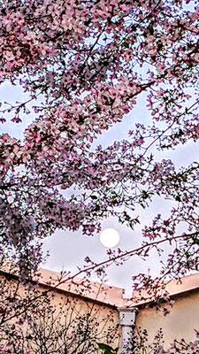 〈s20-115〉pipiさん:スーパームーン/4月7日(火)/埼玉県新座市