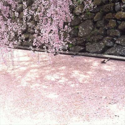 <s20-157>wildflowers.megamikoさん:お堀の桜/2017年4月27日/長野県諏訪市高島「高島城」