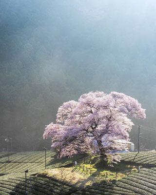 <s20-092>mori_kekeさん:牛代の水目桜/2018年3月28日(水)/静岡県島田市川根町