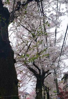 <s20-160>kei0327さん:あっという間/4月4日(土)/東京都世田谷