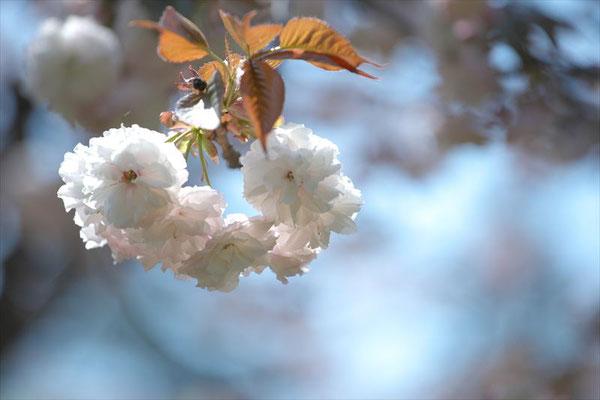 <s20-142>nanumotoさん:最後の花道/4月15日(水)/千葉観音寺