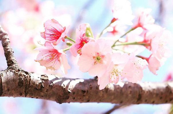〈s20-037〉tabi2018nohohonさん:北浅羽桜堤 『可憐』/3月20日(金)/埼玉県坂戸市