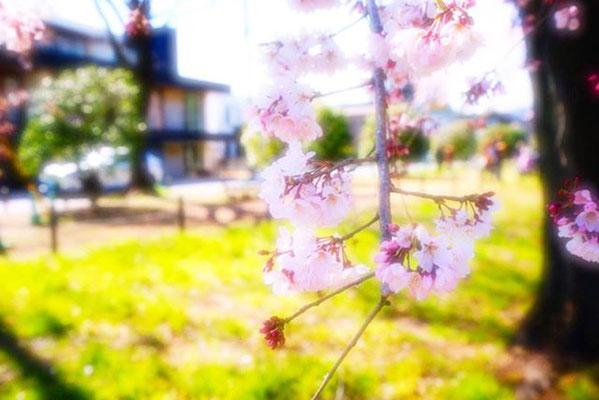 <s20-062>bonita1031さん:敷島公園の枝垂れ/3月22日(日)/敷島公園