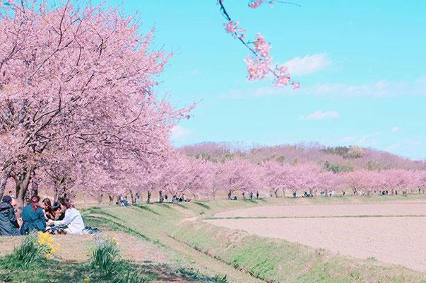 〈s20-022〉tabi2018nohohonさん:さくら、さくら、いまさきほこる/3月20日(金)/埼玉県坂戸市・北浅羽桜堤