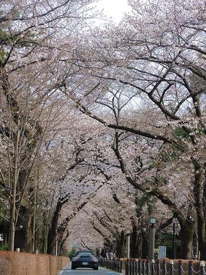 〈s20-016〉Kimsさん:青山墓地はまだまだこれから/3月23日(月)/東京都港区・青山墓地
