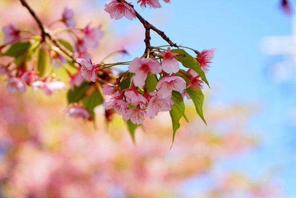 <s20-066>bonita1031さん:そろそろ散りはじめ/3月16日(日)/敷島緑地