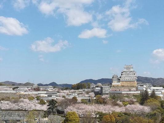 <s20-128>浦野陽子さん:姫路城の桜 遠景/2020年4月5日(日)/姫路城