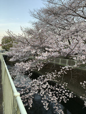 〈s20-030〉Katsuさん:神田川の桜/3月22日(日)/杉並区高井戸 神田川