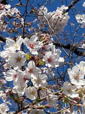 〈s20-021〉なりえもんさん:満開の桜/3月22日(日)/上野公園