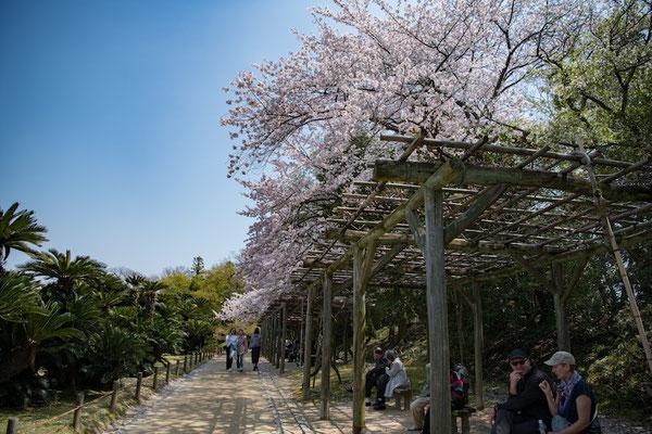 〈s20-105〉ぽせいどんさん:三名園の春/2019年4月8日(月)/後楽園