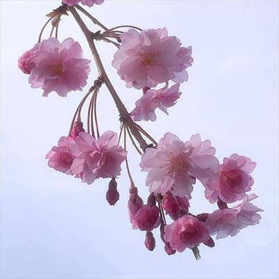 <s20-143>wildflowers.megamikoさん:ピンクの桜/4月15日(水)/長野県諏訪市 高島城