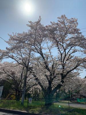 <s20-095>トッキーさん:日当たり良好/4月3日(金)/茨城県常陸太田