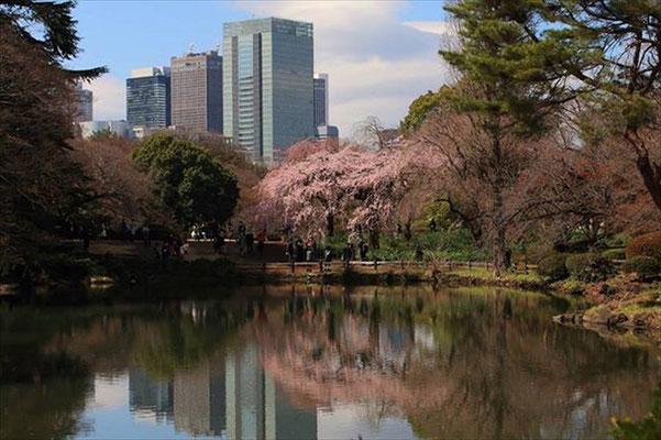 〈s20-012〉eiji_331さん:卒業式 ~桜の横断幕~/3月15日(日)/新宿御苑